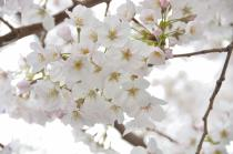 Photograph 1 of cherry blossoms of great Okagawa of March 31, 2020