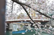Photograph 2 of cherry blossoms of great Okagawa of March 31, 2020