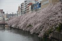 Photograph 3 of cherry blossoms of great Okagawa of March 31, 2020