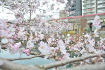 Photograph 4 of cherry blossoms of great Okagawa of March 31, 2020