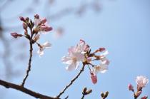 Fotografía 1 de lozanías de la cereza de gran Okagawa del 17 de marzo de 2021