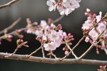 Fotografía 3 de lozanías de la cereza de gran Okagawa del 17 de marzo de 2021