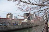 Fotografía 4 de lozanías de la cereza de gran Okagawa del 17 de marzo de 2021