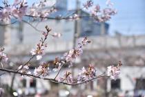 Fotografía 3 de lozanías de la cereza de gran Okagawa del 23 de marzo de 2021