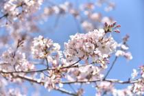 Fotografía 4 de lozanías de la cereza de gran Okagawa del 23 de marzo de 2021