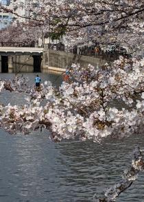 Fotografía 3 de lozanías de la cereza de gran Okagawa del 26 de marzo de 2021