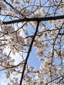 Fotografía 4 de lozanías de la cereza de gran Okagawa del 26 de marzo de 2021