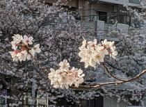 Fotografía 2 de lozanías de la cereza de gran Okagawa del 26 de marzo de 2021