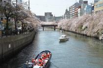 Fotografía 1 de lozanías de la cereza de gran Okagawa del 31 de marzo de 2021