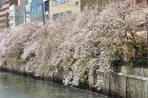 Fotografía 2 de lozanías de la cereza de gran Okagawa del 31 de marzo de 2021
