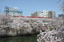 Fotografía 3 de lozanías de la cereza de gran Okagawa del 31 de marzo de 2021