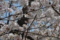Fotografía 4 de lozanías de la cereza de gran Okagawa del 31 de marzo de 2021