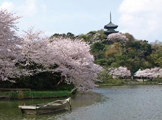 三溪園的櫻花