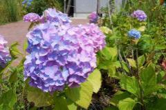 Photograph of hydrangea
