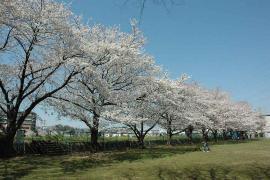 Imagen de lozanías de la cereza