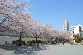 Este Yamamae Sakura el parque