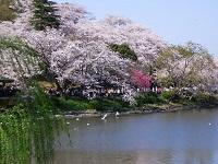 La cereza florece de Parque de Mitsuike